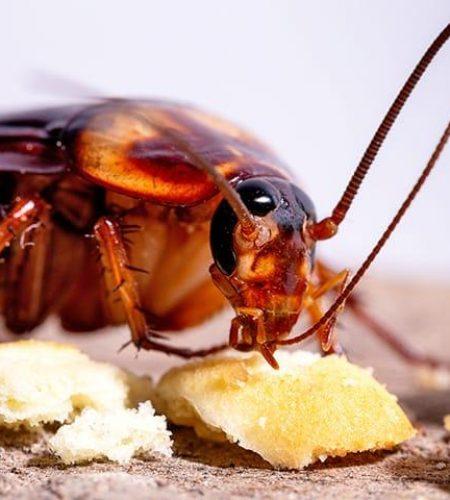 cockroach-eating-food-eureka-kitchen