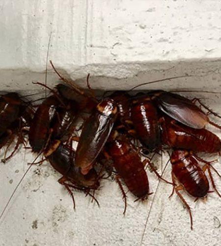 cockroach-identification.v3